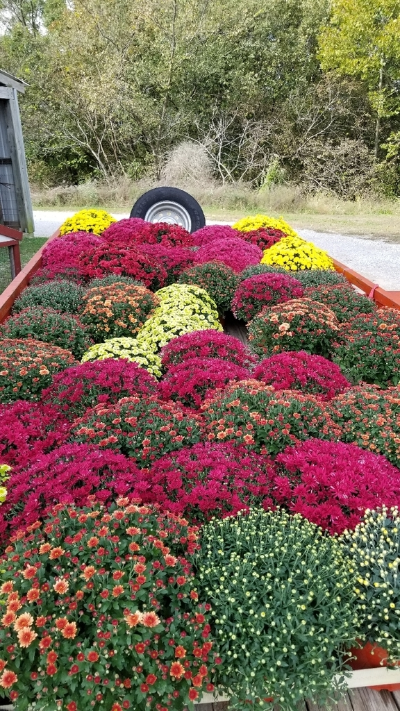 Mums for Sale!